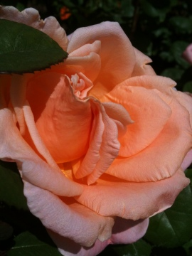 Beautiful bloomin' rose from the Morven rose garden.