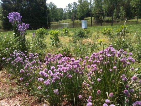 Large population of blooming chive plants in the Kitchen Garden (see the bee colony in the background!)