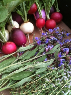 Radishes, blooming sage and thyme, and rosemary (not pictured) freshly picked from the Kitchen Garden for today's cooking demo!