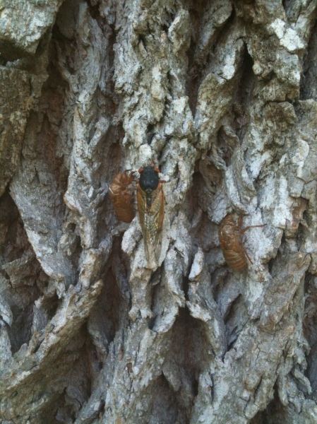 "A mature cicada (known as an ""imago"") on the left and its abandoned exoskeleton. This dude, along with about 600 of his friends, was found on a tree across the field from the Meeting Barn at Morven!"