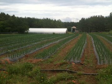 Rows of spring onions, chives, and leeks. The black covering is used for weed control and irrigation purposes.