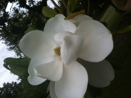 The magnolias are starting to bloom!