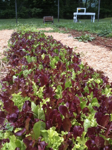 Lettuces from the MKG.